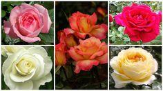 Alegerea catorva tufe de trandafiri pentru o gradina de dimensiuni obisnuite este o sarcina destul de dificila, avand in vedere ca in lume exista peste 2.000 de soiuri ale acestor iubite flori. Va prezentam saptesoiuri