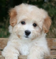 Maltipoo Puppies for Sale in San Diego, California
