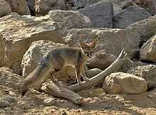 Blandford's fox:  It is also known as the Afghan fox, royal fox, dog fox, hoary fox, steppe fox, black fox, king fox, cliff fox or Baluchistan fox. This can be confusing because other species are known as the corsac fox (Vulpes corsac) and the hoary fox (Lycalopex vetulus).