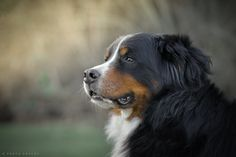 Gambler - Bernese Mountain Dog by Gord Rufh - Victoria Dog Photographer