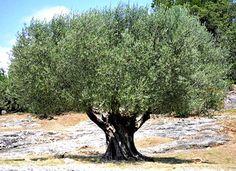 Kalamata Olives: a Blessing!