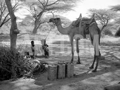 Local Men of Somaliland with Their Camels, 1935 Photographic Print at Art.com