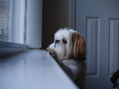 Shih Tzu waiting on his person.
