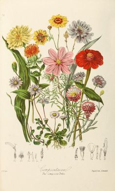 """The Composite Tribe"" cosmos, zinnia, bachelor button ~ Illustrations of the natural orders of plants with groups and descriptions, 1868."