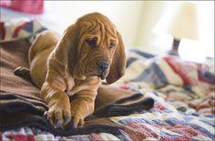 Bloodhound Pup