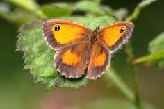 Meadow Brown Butterfly - 50-6D8231