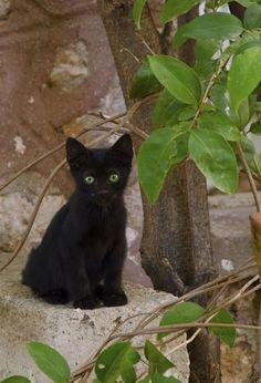 Crazy Cat Lady, Crazy Cats, Kittens Cutest, Cute Cats, Black Kittens, Bombay Cat, Cat Stuff, Frogs, Tuxedo