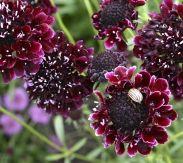Scabiosa atropurpurea  Zwartpurperen scabiosa