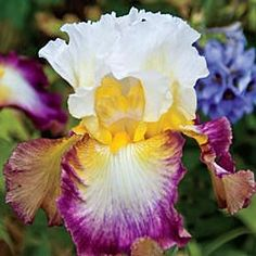 Starship Enterprise Re-blooming Bearded Iris
