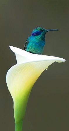 Calla Lily and hummingbird