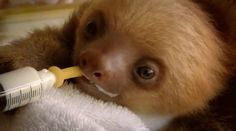 Baby sloth drinks milk. Amazing!