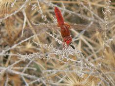 Scarlet Darter Crocothemis erythraea   Endless Wildlife