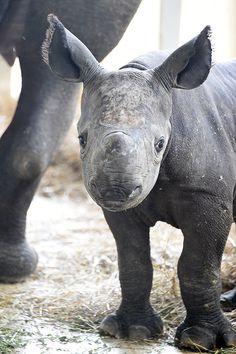 Rhino calf, babies, baby, animal kingdom