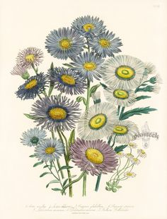 Aster amellus botanical by Jane Loudon