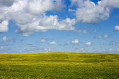 Canola blooming in the Alberta Prairies by me  #landscape #canola #blooming #alberta #prairies #photography