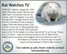 """rat watches tv....My rat Bono loves watching t.v. When I go out, I set up my laptop by his cage and set it on Netflix so he can watch movies while I'm out. His favorite movie is..."""" The Nut Job """""""