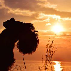 Schnauzer Sunset