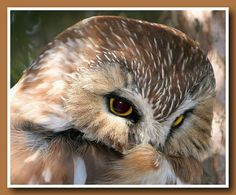 Saw Whet Owl, Colourful Birds, Owl Eyes, Bird Pictures, Owls, Photos, Animals, Color, Colorful Birds