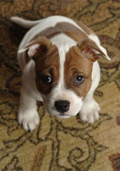 Staffordshire Bull Terrier. What ever I did, I'm sorry