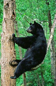Female Black Bear Kicked Back & Relaxing In A Tree (by AlaskaFreezeFrame) Sloth Bear, Bear Cubs, Panda Bear, Polar Bear, Animals And Pets, Funny Animals, Cute Animals, Wild Animals, American Black Bear