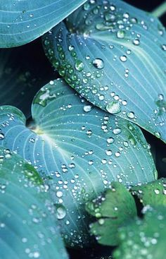Hosta 'Halcyon' covered in raindrops