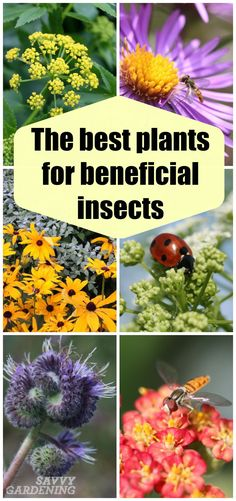 These plants for beneficial insects lure in ladybugs, lacewings, syrphid flies, and other good bugs.