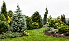 Iseli Nursery, conifers, colored foliage