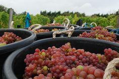 Oatley Vineyard, Somerset, UK. Kernling harvest 27 October 2013.