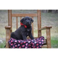 Beautiful litter of registered lab puppies