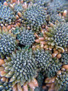 Sinocrassula yunnanensis.  1295356260_d520a59a22