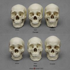 Human Male and Female Skulls: African, Asian, and European. The Human Skull Sets allow for the study of characteristics suggestive of geographical ancestry (African, Asian, and European) and sex. Facial Anatomy, Skull Anatomy, Skeleton Anatomy, Head Anatomy, Anatomy Drawing, Skull Reference, Anatomy Reference, Drawing Reference, Human Skeleton