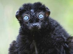 black lemurs are thought to be the only primates besides humans to have blue