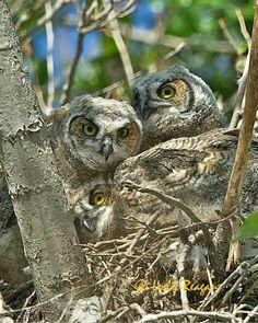 Great Horned owlet triplets