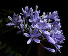 Flores de Agapanthus