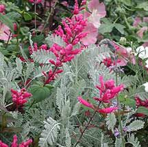 Salvia pulchella x involucrata Herbaceous Perennials, Rose Buds, Salvia, Flower Pots, Plants, Scent Garden, Plant Combinations, Beautiful Flowers, Flowers