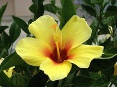 Hibiscus. OMG my favorite flower in the world!