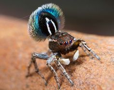 Post with 452 views. The breathtaking Fringed Peacock Spider - Maratus fimbriatus - Discovered in 2014 Weird Insects, Cool Insects, Bugs And Insects, Pet Spider, Spider Art, Spider Webs, Curious Creatures, Weird Creatures, Unusual Animals