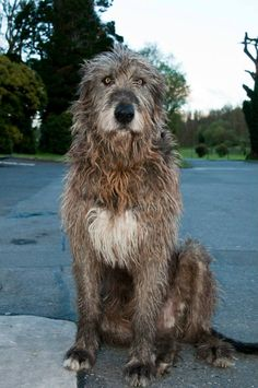 Oscar the Irish wolfhound who sees all the comings and goings at Cabra Castle Hotel. Cormey, Kingscourt, Co. Cavan, Ireland.