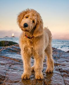 Cute Labradoodle ------- Willie Englebert's hobbies include barking in the wee hours of the morning, terrorizing the family, chewing things that shouldn't be… Caption For Beach Photos, Golden Labradoodle, Puppy Goldendoodle, Cockapoo, Cute Puppies, Cute Dogs, Beach Captions, Dog Beach, Puppy Care
