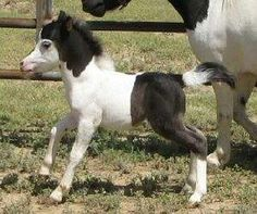 """While miniature horses are the size of a very small pony, many retain horse characteristics and are considered """"horses"""" by their respective registries. Most Beautiful Animals, Beautiful Horses, Baby Horses, Mini Horses, White Horses, Cute Baby Animals, Funny Animals, Horse Pictures, Horse Photos"""