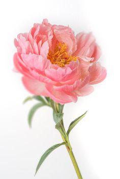 Peony Photography - Floral Still Life Photography, Botanical Photograph, Large Wall Art, Minimal Home Decor