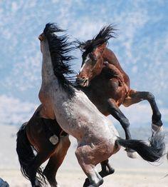 Caballos luchando por la primacía en la manada.