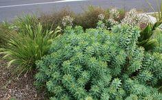 Euphorbia glauca - native euphorbia with dwarf toe toe and astelia Plants, Landscape, Euphorbia, Native Garden, Front Garden, Garden