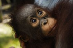 Orangutan victims of the invasion of oil Photo by Lutfi Pratomo -- National Geographic Your Shot