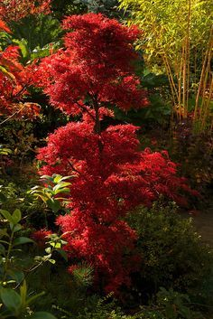 Autumn Acer palmatum 'Shaina' This acer has an unusual dwarf, bushy, tufted habit and beautiful small leaves. The leaves of 'Shaina' are the same dark red all summer, but when autumn arrives the color turns a luminescent crimson-red. Garden Trees, Pretty Plants, Conifers Garden, Garden Shrubs, Japanese Garden, Beautiful Tree, Shrubs, Japanese Maple Tree, Beautiful Gardens