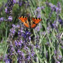 Tuinplant van de maand April: Lavendel