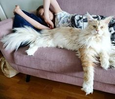 Maine Coon cats are intelligent, beautiful, and playful. These desirable traits also make them very expensive to own. But you can say that about other cats as well. Size is what sets the Maine coon. I Love Cats, Crazy Cats, Cool Cats, Funny Cats, Funny Animals, Cute Animals, Pretty Cats, Beautiful Cats, Cute Kittens