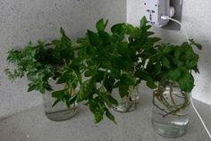 Horta Urbana: Reprodução de Plantas: Enraizamento/ Estacas de galhos