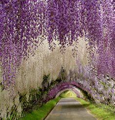 Tunnel di glicini in Giappone, Kawachi Fuji gardens