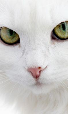 480x800 Wallpaper cat, face, eyes, white